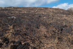 Un campo bruciato annerire dopo un fuoco del cespuglio, i primi nuovi germogli che iniziano appena a schioccare da parte a parte fotografia stock