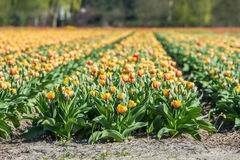 Un campo coltivato del tulipano Fotografia Stock Libera da Diritti
