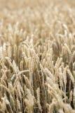 Un campo con i cereali Un campo con i cereali Fotografie Stock