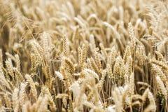 Un campo con i cereali Un campo con i cereali Immagini Stock