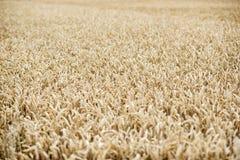 Un campo con i cereali Un campo con i cereali Fotografia Stock