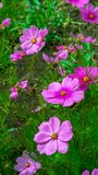 Un campo con i fiori dell'universo del giardino immagini stock libere da diritti