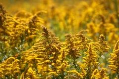 Un campo con i wildflowers gialli Fotografia Stock