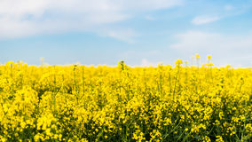 Un campo con il seme di ravizzone di fioritura del seme oleifero Immagine Stock Libera da Diritti