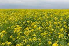 Un campo con la fioritura del seme di ravizzone giallo del seme oleifero nel tempo di primavera Fotografia Stock