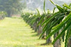 Un campo con la fruta forra el Hylocereus Imágenes de archivo libres de regalías