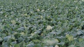 Un campo con las verduras almacen de video