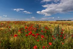 Un campo con le orecchie del grano ed i lotti dei papaveri rossi Immagini Stock