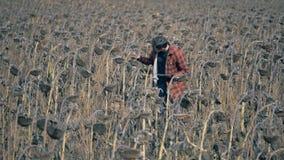 Un campo con los girasoles secos, cierre para arriba Mala cosecha en tierras de labrantío almacen de metraje de vídeo