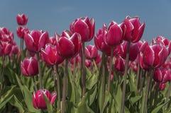 Un campo con los tulipanes blancos rojos, con un fondo de un cielo azul claro, los troncos con las hojas es verde claro y muy lar foto de archivo libre de regalías