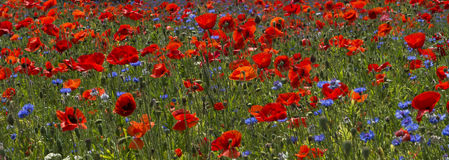 Un campo de amapolas brillantes, rojas y de flores salvajes Fotografía de archivo libre de regalías