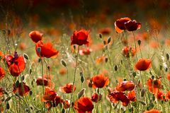 Un campo de amapolas rojas. Fotografía de archivo