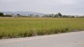 Un campo de arroz maduro, visto del camino que espera para ser cosechado, con una segadora en el fondo metrajes