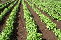 Un campo de cosechas verdes. Imagen de archivo libre de regalías