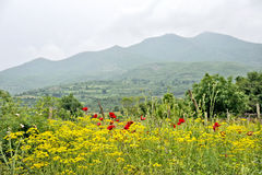 Un campo de flores amarillas y de flores rojas Imagen de archivo libre de regalías