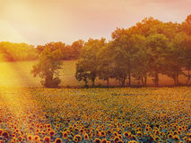 Un campo de girasoles en la puesta del sol Imagenes de archivo
