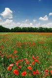 Un campo de la amapola en día asoleado brillante imagen de archivo