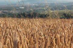 Un campo de la cebada y de las amapolas de oro Foto de archivo libre de regalías