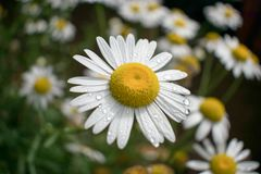 Un campo de la flor de la margarita foto de archivo libre de regalías