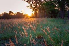 Un campo de la hierba en el resplandor hermoso de una puesta del sol australiana imagen de archivo libre de regalías