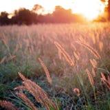 Un campo de la hierba en el resplandor hermoso de una puesta del sol australiana fotografía de archivo libre de regalías