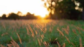 Un campo de la hierba en el resplandor de oro de una puesta del sol australiana fotografía de archivo libre de regalías