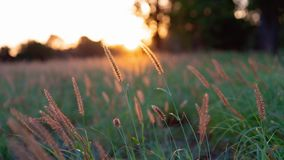 Un campo de la hierba en el resplandor de oro de una puesta del sol australiana imagenes de archivo