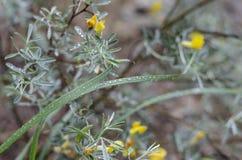 Un campo de la mitad de una lluvia del verano de las flores salvajes Myrtales amarillo de las flores en tallos verdes asimetr?a r imágenes de archivo libres de regalías