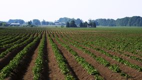 Un campo de la patata - Lafontaine, Ontario Fotos de archivo