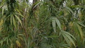 Un campo de la planta del cáñamo/de marijuana metrajes