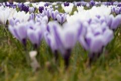Un campo de las azafranes que florecen en primavera temprana Foto de archivo