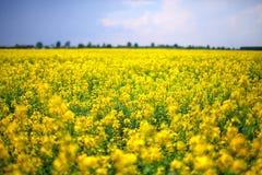 Un campo de las flores amarillas de la rabina Foto de archivo