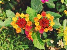 Un campo de las flores coloridas del lantana que florecen en la caída fotografía de archivo libre de regalías
