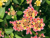 Un campo de las flores coloridas del lantana que florecen en la caída foto de archivo libre de regalías