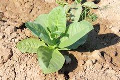 Campo de las plantas de tabaco, una cierta floración fotografía de archivo libre de regalías