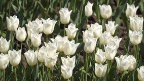 Un campo de los tulipanes blancos