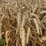 Un campo de maíz fotografía de archivo