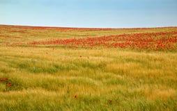 Un campo de maíz agrícola con las amapolas Fotografía de archivo