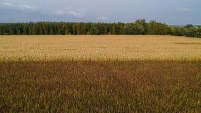 Un campo de maíz es afectado por la sequedad de la sequía foto de archivo libre de regalías
