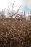 Un campo de maíz escogido debajo de un cielo azul Foto de archivo