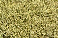 Un campo de maíz grande Imágenes de archivo libres de regalías