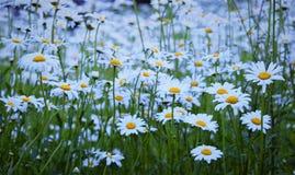 ¡Un campo de margaritas blancas y amarillas perfectas!!! Fotos de archivo libres de regalías