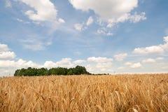 Un campo de trigo bajo el cielo azul Foto de archivo