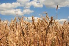 Un campo de trigo con el fondo del cielo azul foto de archivo libre de regalías