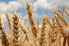 Un campo de trigo con el fondo del cielo azul Fotografía de archivo libre de regalías