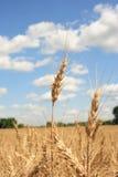 Un campo de trigo con el fondo del cielo azul Imagen de archivo libre de regalías