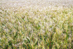 Un campo de trigo, cosecha fresca del trigo Imagen de archivo libre de regalías