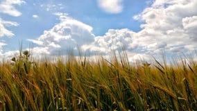 Un campo de trigo del verano con las espiguillas verdes inmóviles del trigo Foto de archivo libre de regalías