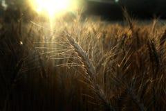 Un campo de trigo en la cosecha del verano Foto de archivo