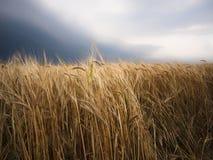 Un campo de trigo rico hermoso a la lluvia con las nubes dramáticas Fotos de archivo libres de regalías